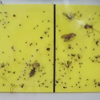 写真:捕虫紙検査